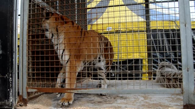 captive  tiger. - captive animals stock-videos und b-roll-filmmaterial
