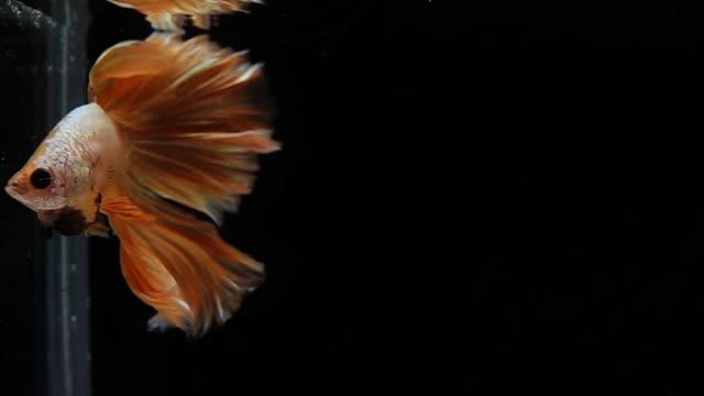 vídeos de stock, filmes e b-roll de capture o momento movente de peixes siamese da luta do ouro isolados no fundo preto, peixes da luta de betta - bichos mimados