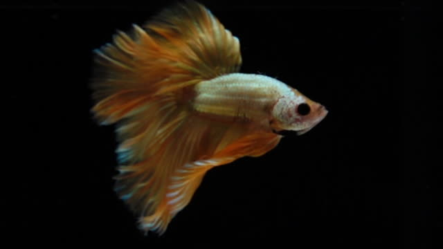 capture the moving moment of gold siamese fighting fish isolated on black background,betta fighting fish - pampered pets stock videos and b-roll footage