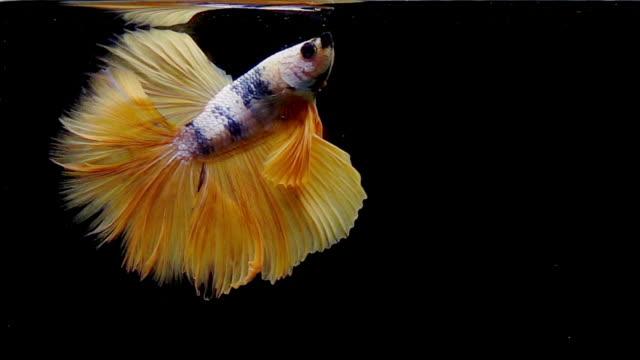 vidéos et rushes de capturez le moment émouvant des poissons de combat siamois d'or d'isolement sur le fond noir, poissons de combat de betta - plan très rapproché