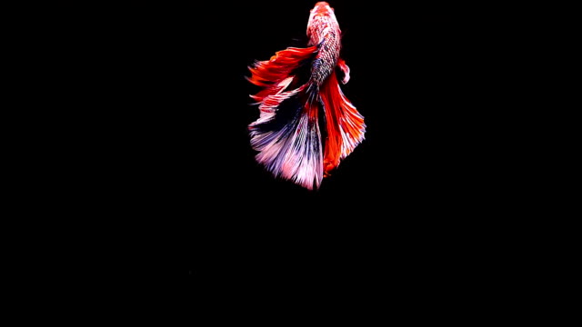 Capture the moving moment of Siamese fighting fish, Betta fish on black background