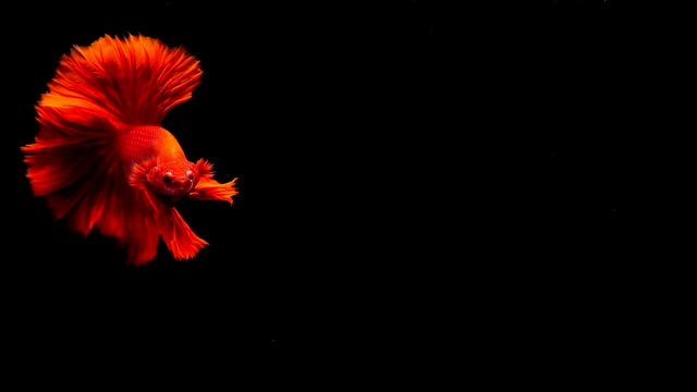 capture the moving moment of siamese fighting fish, betta fish on black background - multi coloured stock videos & royalty-free footage