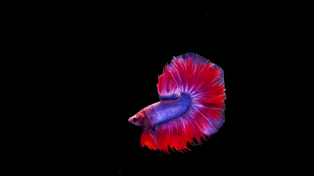 capture the moving moment of siamese fighting fish, betta fish on black background - tail stock videos & royalty-free footage