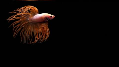 vídeos de stock, filmes e b-roll de capturar o momento comovente de peixe betta em fundo preto, peixe-lutador-siamês - bichos mimados