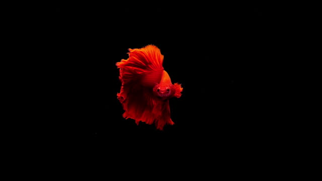 capture the moving moment of siamese fighting fish, betta fish on black background - fish stock videos & royalty-free footage