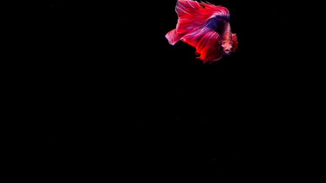 halten sie den bewegenden moment siamesische kampffische betta fische auf schwarzem hintergrund - tierkörper stock-videos und b-roll-filmmaterial