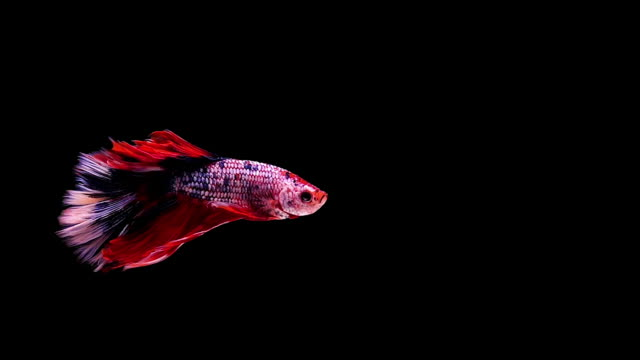 capture the moving moment of siamese fighting fish, betta fish on black background - siamese fighting fish stock videos and b-roll footage