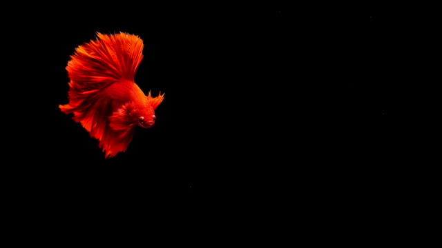 Capture the moving moment of Siamese fighting fish, Betta red fish on black background