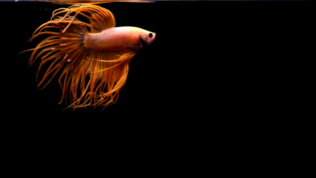 capture the moving moment of siamese fighting fish, crowntail betta red fish isolated on black background - aquatic organism stock videos & royalty-free footage