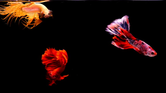 capture the moving moment of siamese fighting fish, group of betta fish on black background - animal fin stock videos & royalty-free footage