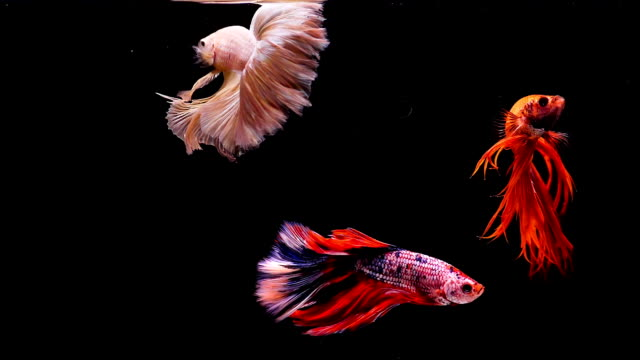 capture the moving moment of siamese fighting fish, group of betta fish on black background - three animals stock videos & royalty-free footage