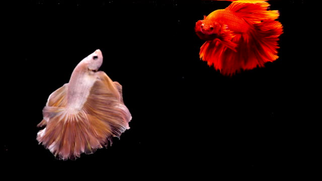 capture the moving moment of siamese fighting fish, two betta fish on black background - fish stock videos & royalty-free footage