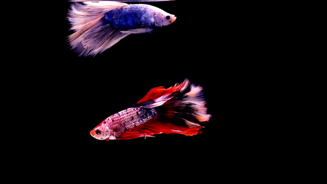 Capture The Moving Moment Of Siamese Fighting Fish Two Betta On Black Background Stock Footage Video Getty Images