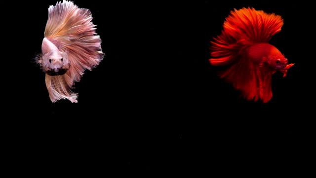シャムの戦いの魚、黒の背景に 2 つの betta の魚の感動的な瞬間をキャプチャします。 - 捕らえられた動物点の映像素材/bロール