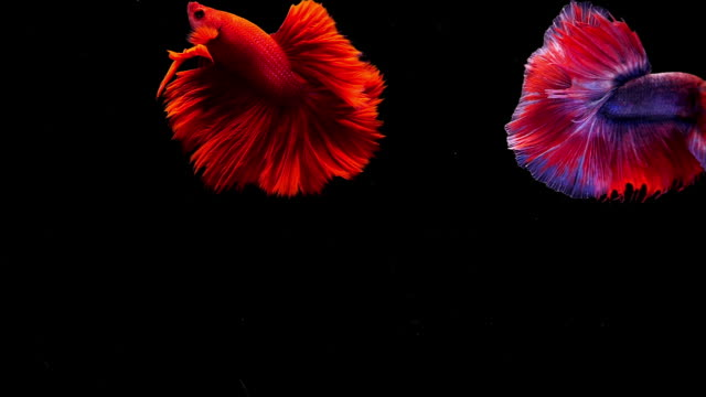 capture the moving moment of siamese fighting fish, two betta fish on black background - siamese fighting fish stock videos and b-roll footage