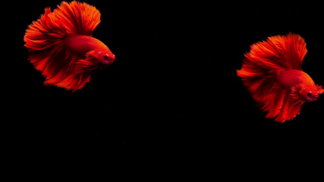 capture the moving moment of siamese fighting fish, two betta fish on black background - animal fin stock videos & royalty-free footage