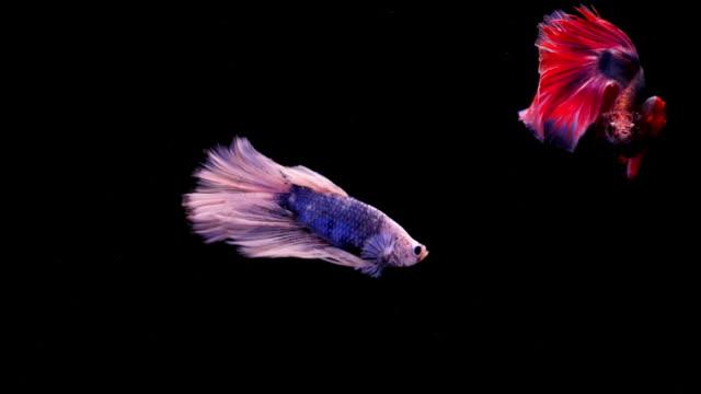 halten sie den bewegenden moment siamesische kampffische, zwei betta fische auf schwarzem hintergrund - leuchtende farbe stock-videos und b-roll-filmmaterial