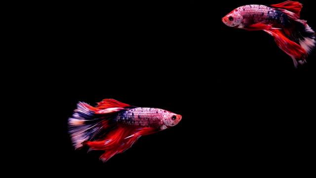 vídeos y material grabado en eventos de stock de capturar el momento movimiento de pez luchador siamés, peces betta dos sobre fondo negro - organismo acuático