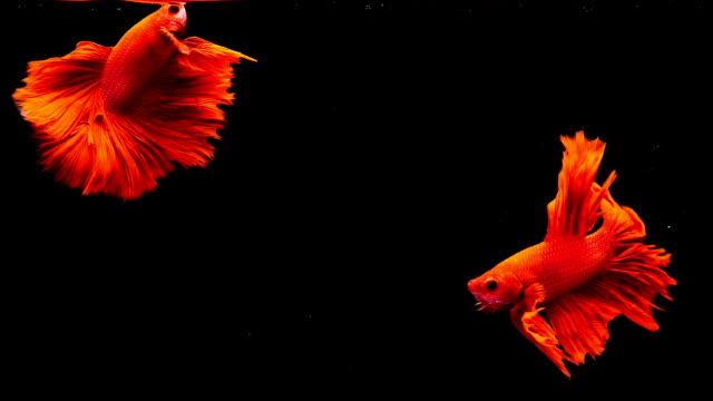 capture the moving moment of siamese fighting fish, two betta red fish on black background - fight stock videos & royalty-free footage