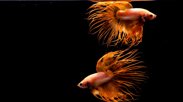 vídeos de stock e filmes b-roll de capture the moving moment of siamese fighting fish, two crowntail betta fish isolated on black background - dourado cores