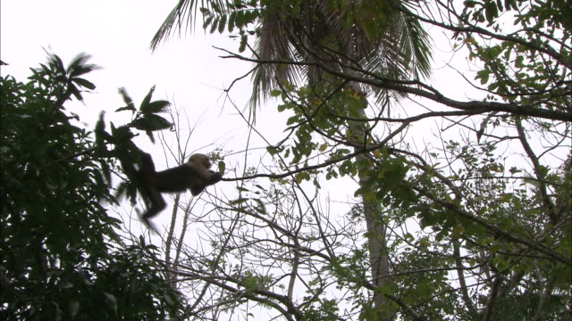 MS, Capuchin monkey climbing from one tree top to another using arms and tail, Africa