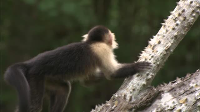 vídeos y material grabado en eventos de stock de ms, tu, capuchin monkey climbing tree, africa - rama parte de planta