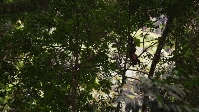 capuchin monkey climbs down tree branches. - 2013 stock videos & royalty-free footage