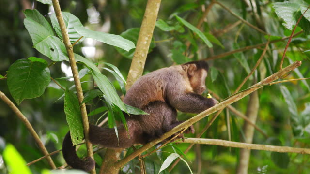 capuchin monkey in a tree eating a piece of fruit. - 2013 stock videos & royalty-free footage