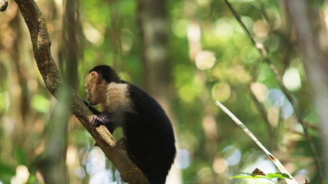 capuchin monkey in a tree - 一匹点の映像素材/bロール