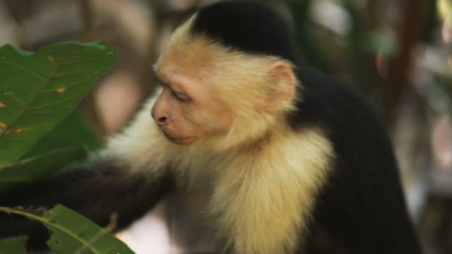 capuchin monkey in a tree - ökotourismus stock-videos und b-roll-filmmaterial