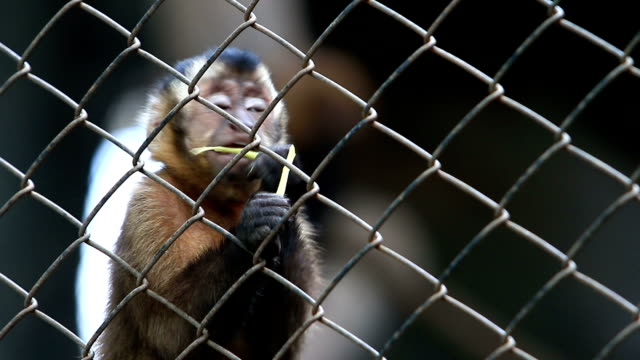 Capuchin Monkey in an animal reserve