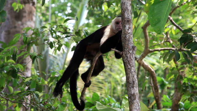 capuchin monkey in trees - costa rica stock videos & royalty-free footage