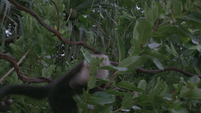 A capuchin monkey jumps onto a branch.