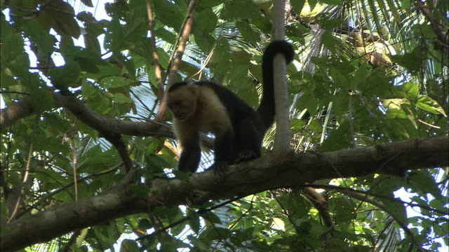 a capuchin monkey leaps across a branch. - agility stock videos & royalty-free footage