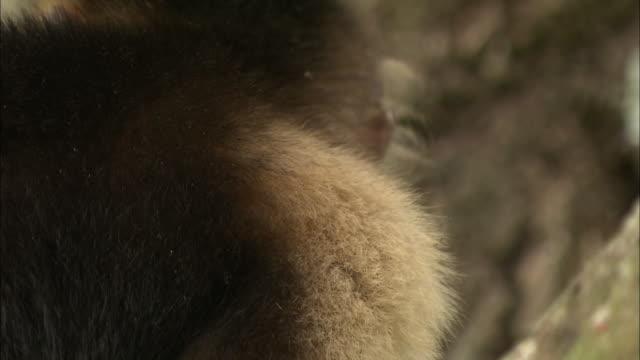 a capuchin monkey looks around. - wachsamkeit stock-videos und b-roll-filmmaterial