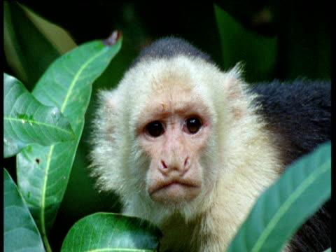 Capuchin monkey looks around with sad expression, Trinidad