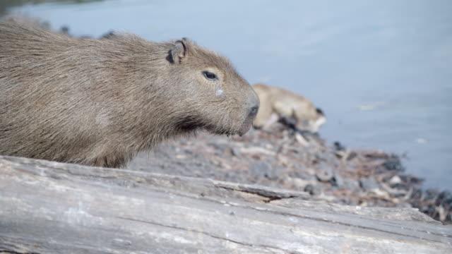 ms pan capuchin monkey on capybara / atlanta, united states - medium group of animals stock videos & royalty-free footage