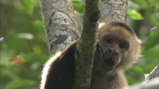 a capuchin monkey opens its mouth wide. - primate stock videos & royalty-free footage