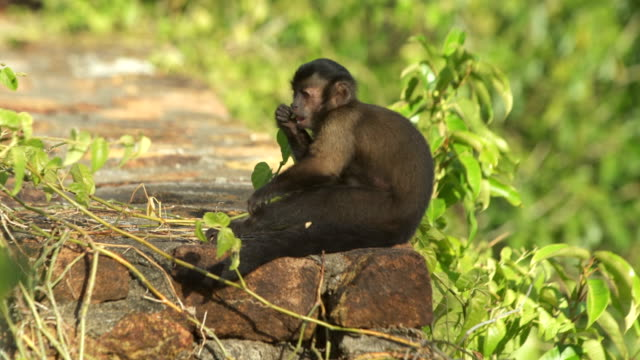Capuchin monkey peeling fruit and eating