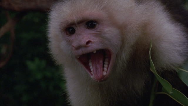 a capuchin monkey screeches and covers its face with its hands. - animal head stock videos & royalty-free footage