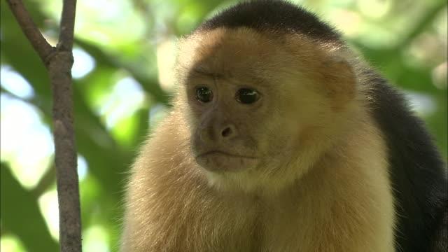 a capuchin monkey sits in a leafy tree. - 猿点の映像素材/bロール