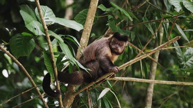 vídeos de stock e filmes b-roll de capuchin monkey sitting on a tree branch sticks his tongue out. - 2013