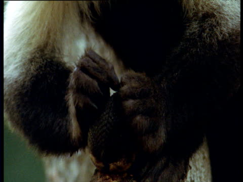 capuchin monkey tries to prize clam open with its fingers, trinidad - albero tropicale video stock e b–roll