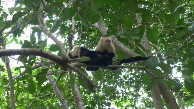 vidéos et rushes de capuchin monkey - arbre tropical