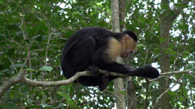 capuchin monkey - provinz puntarenas stock-videos und b-roll-filmmaterial