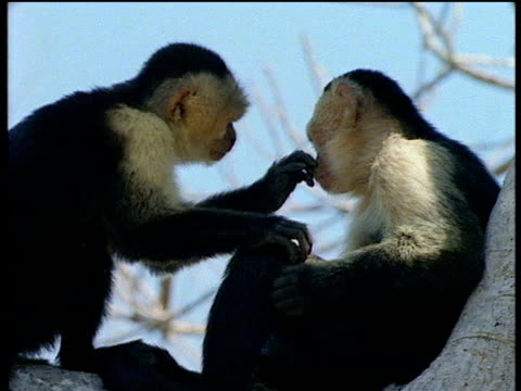 Capuchin monkeys in tree, one grooms the other