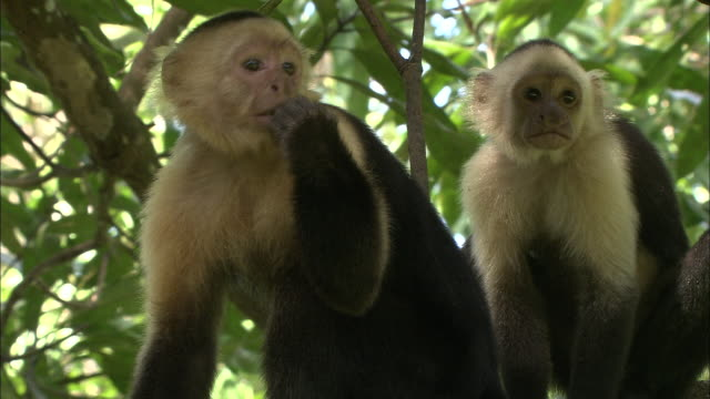 capuchin monkeys sit on a branch. - animals in the wild stock videos & royalty-free footage