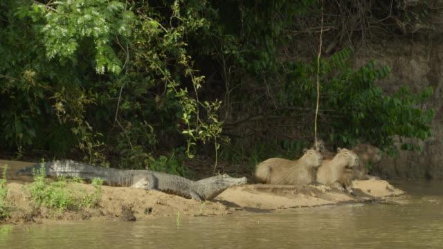 Capybara (Hydrochoerus hydrochaeris) and Spectacled caiman (Caiman crocodilus) lie near each other on river bank.