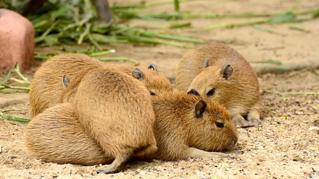 capybara family in the nature - group of animals stock videos & royalty-free footage