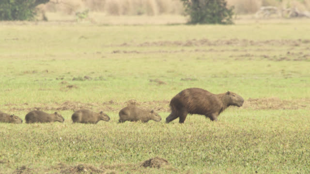 capybara (hydrochoerus hydrochaeris) family walks across pantanal. - young animal video stock e b–roll